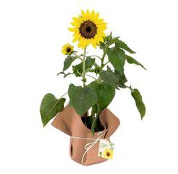 Planta de Girasol 1 U